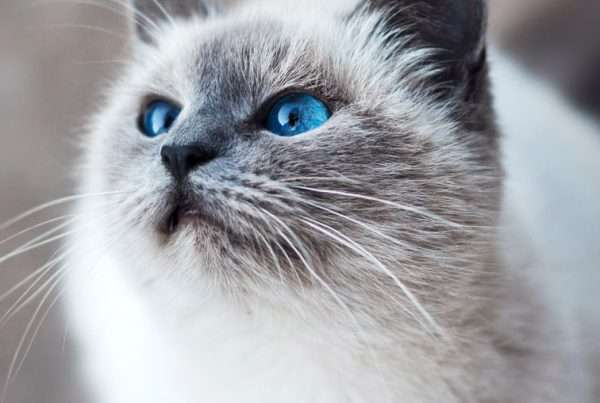 Can Cats Get Kennel Cough