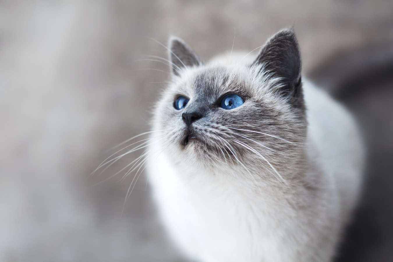 Can Cats Get Kennel Cough?