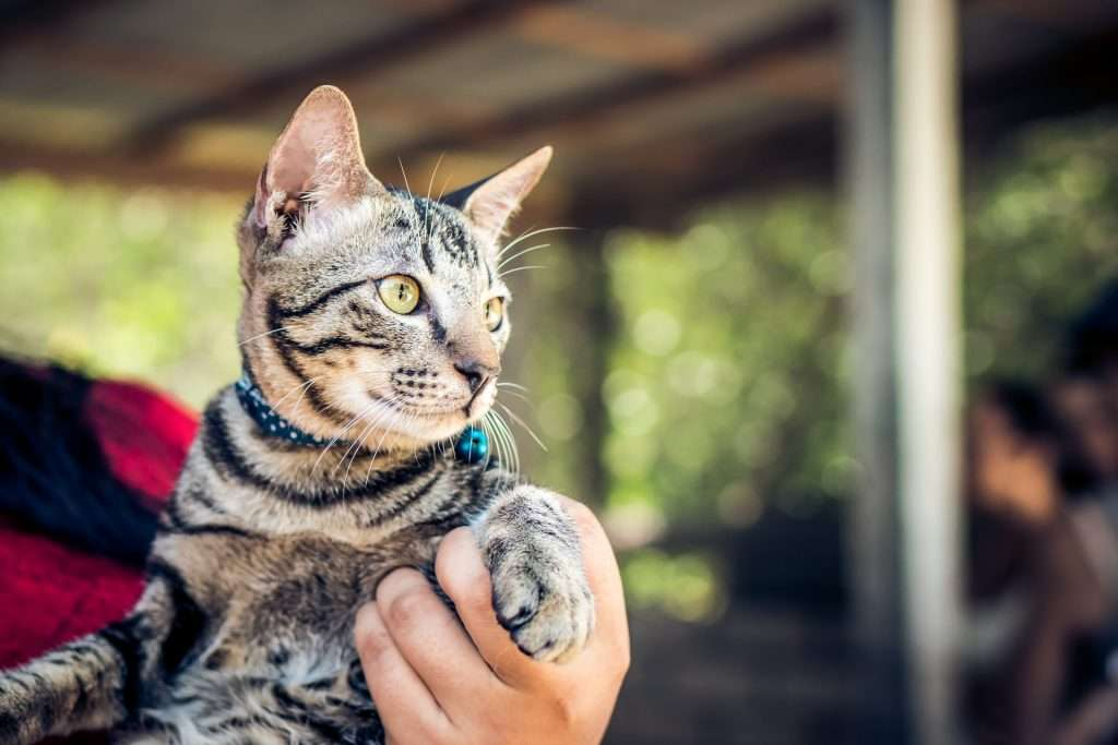 Kennel Cough Vaccine for Cats