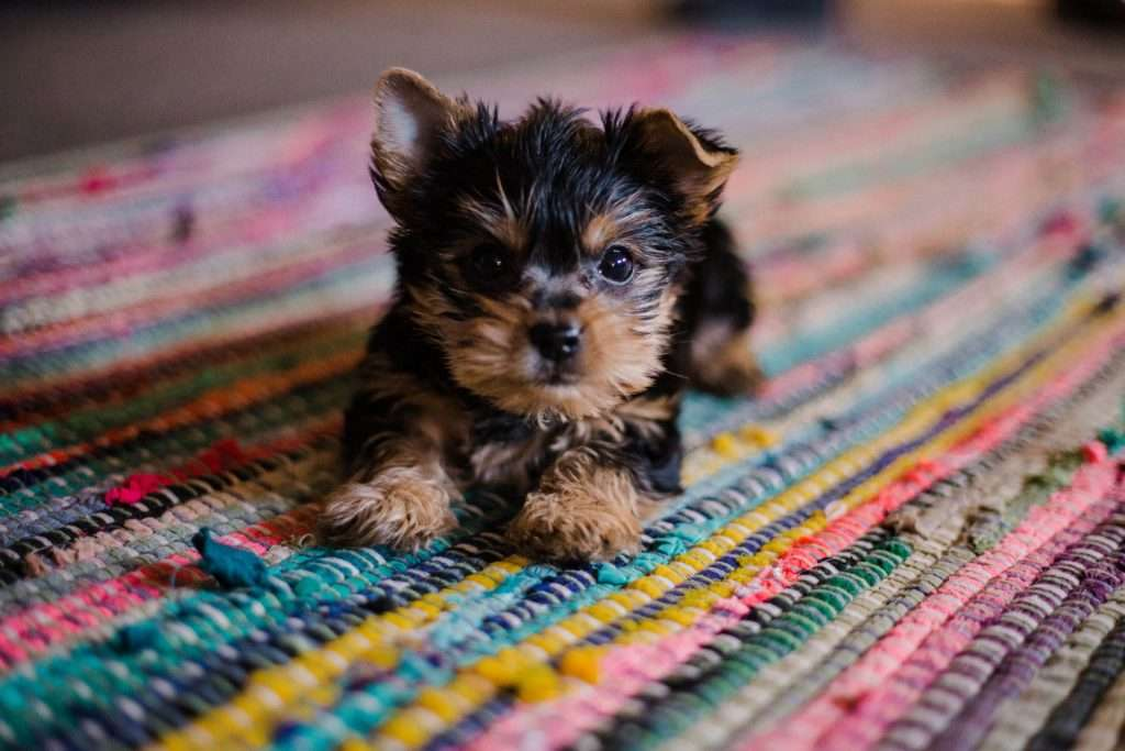 Kennel Cough Treatment for Puppies