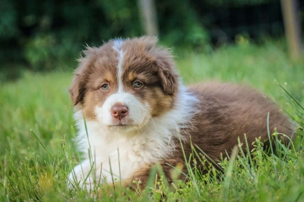 Puppy With Cough