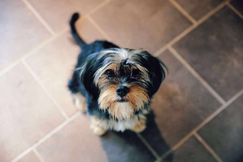 Yorkie with Kennel Cough