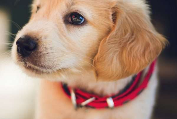 Kennel Cough in Puppies