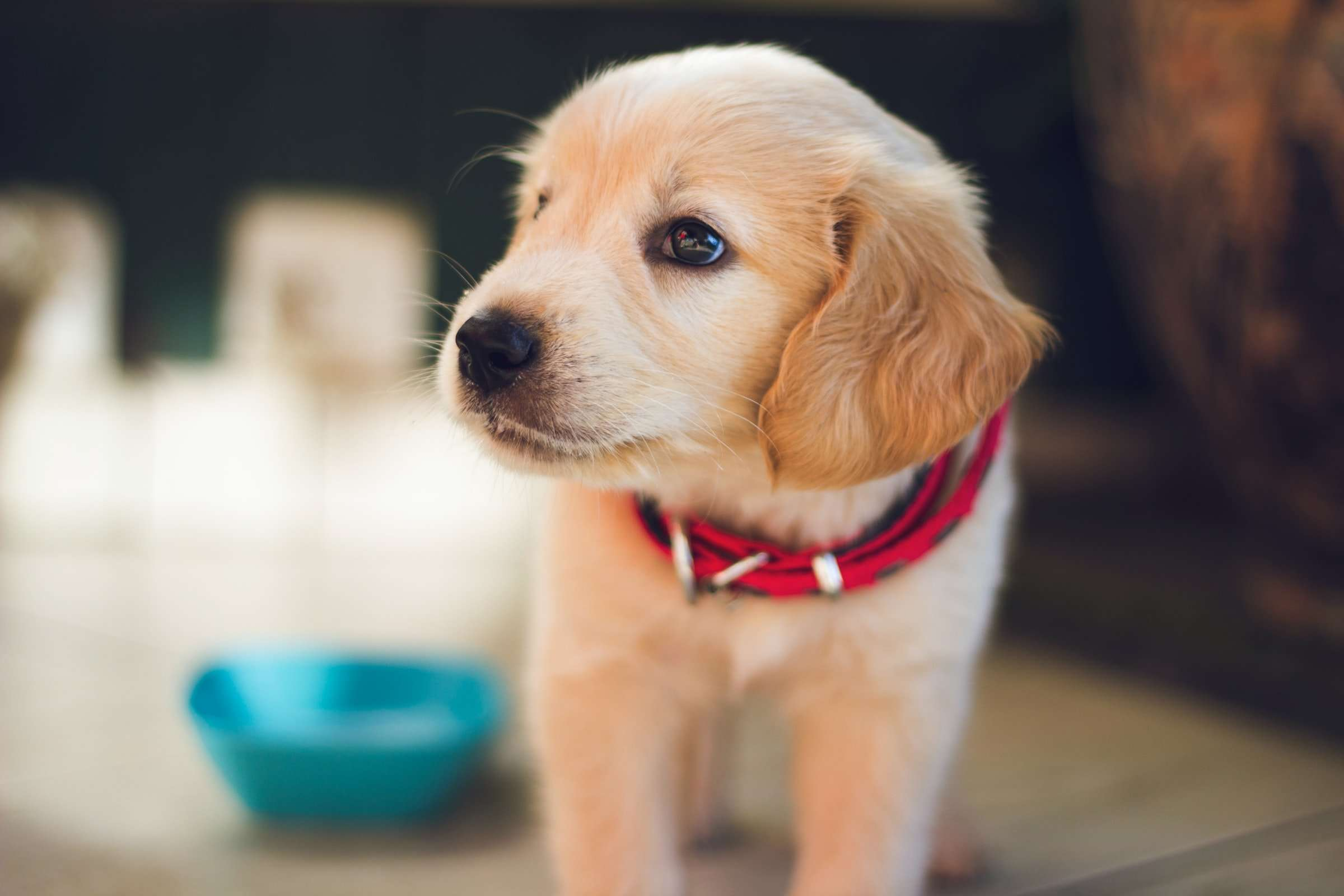 Kennel Cough in Puppies – Symptoms, Remedies, Treatment & More