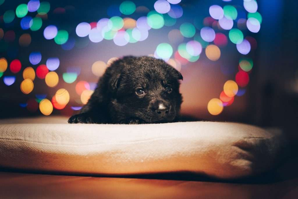 Prevent kennel cough in puppy