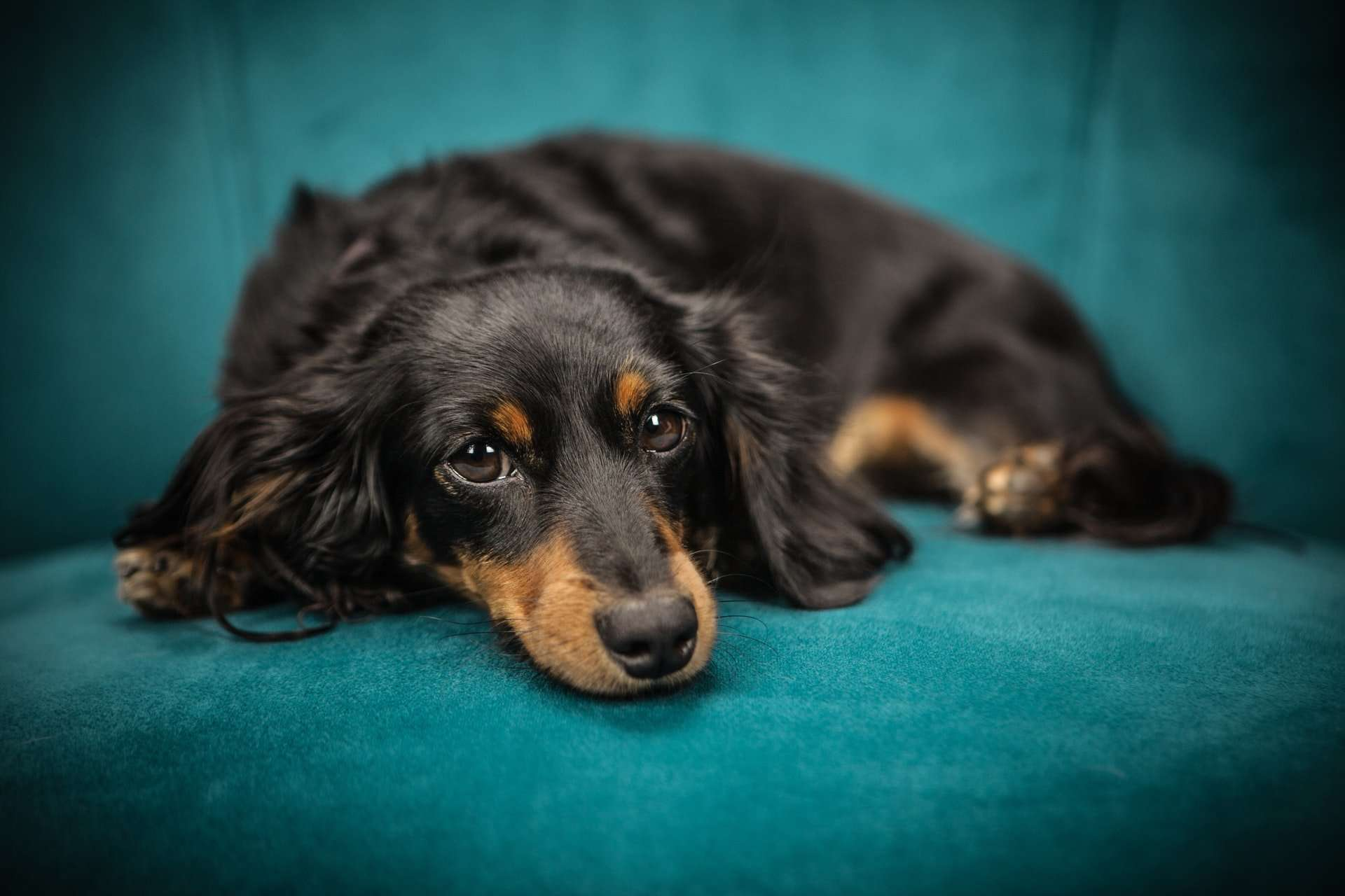 Bordetella Bronchiseptica in Dogs, Cats and Humans