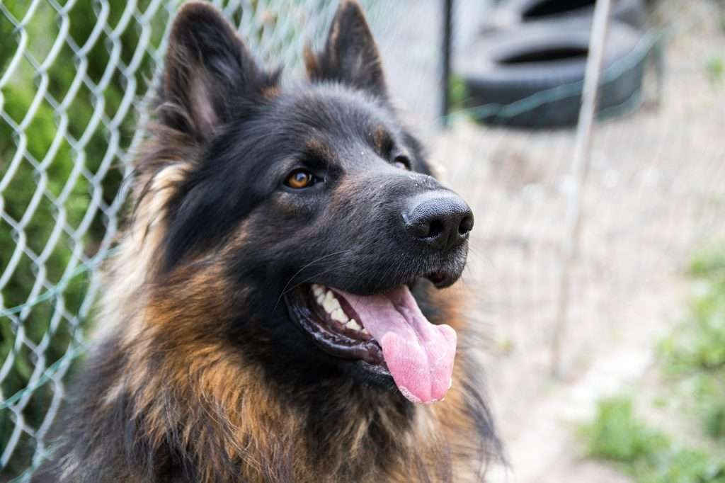 Difference between heart cough in dogs and kennel cough