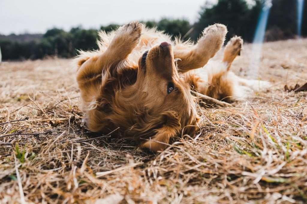 Is doxycycline used for kennel cough