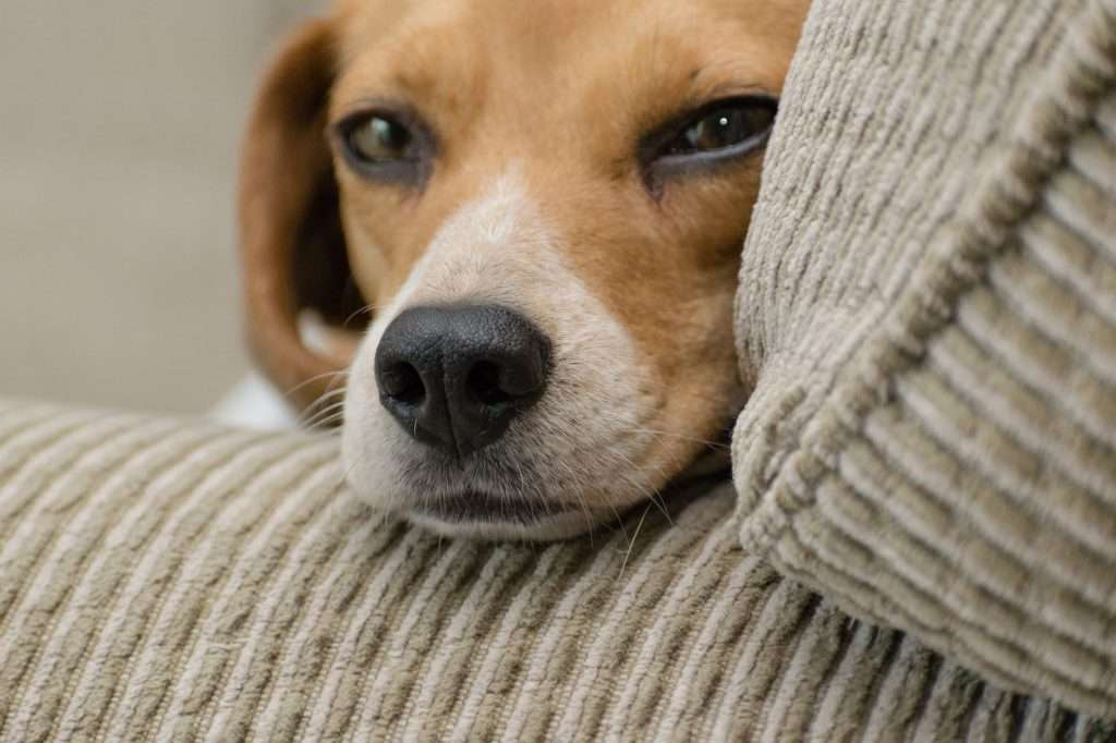 What is a Collapsed Trachea in Dogs