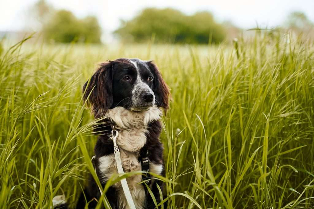 How is Coronavirus in Dogs Transmitted?