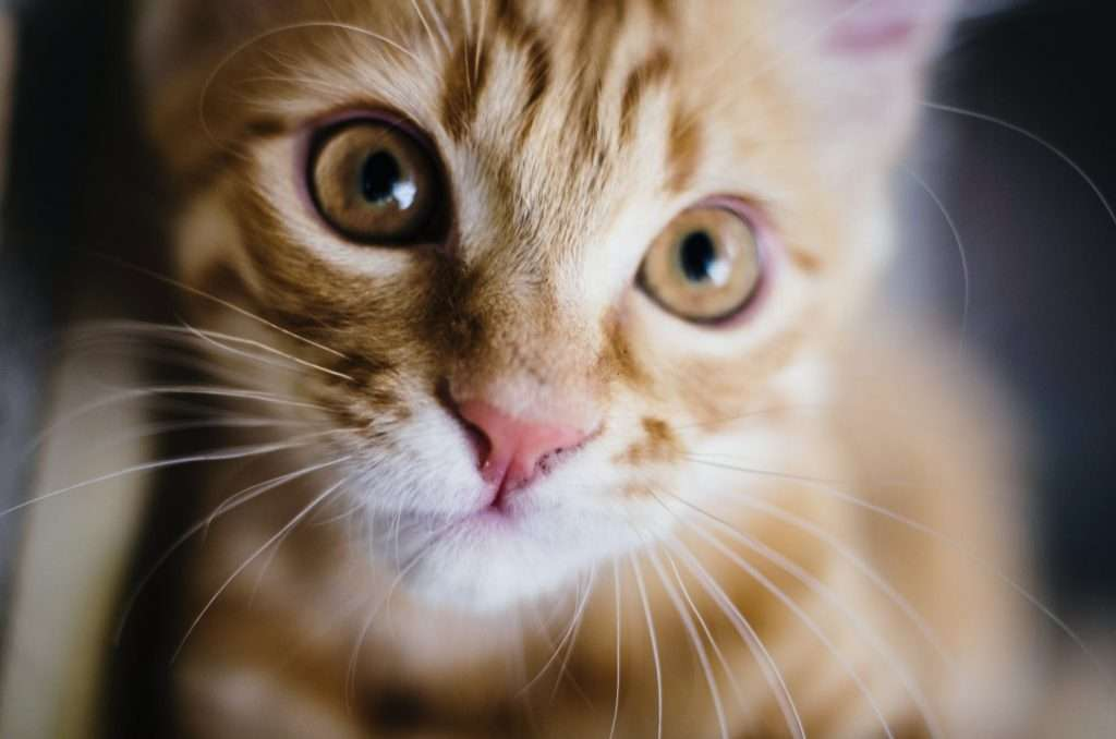 Treatment and Remedies of Covid in Cats