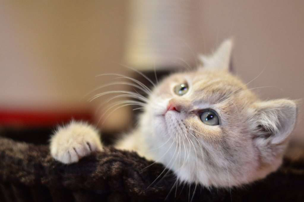 Treatment for pneumonia in cats
