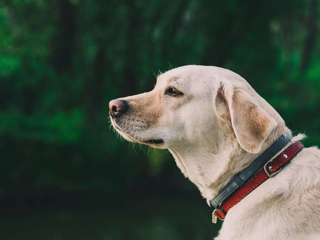 How long does kennel cough last in dogs