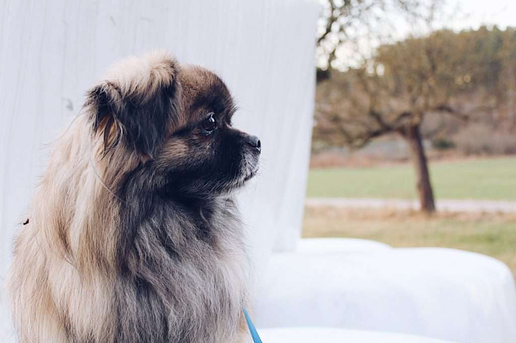 How long does kennel cough last on surfaces