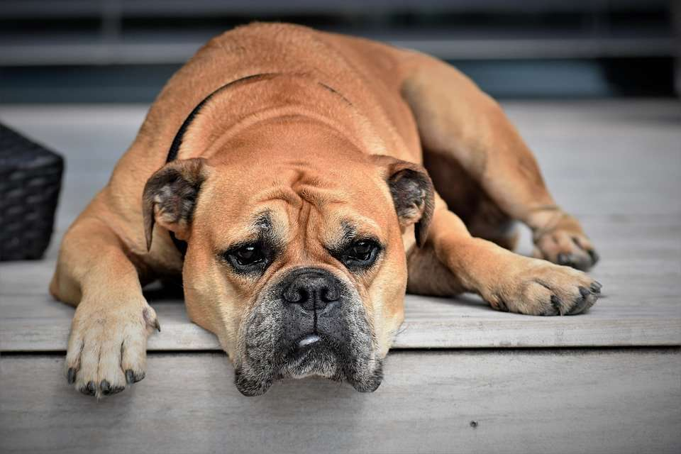 How long does kennel cough vaccine last